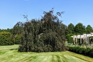 One one end is this giant weeping copper beech tree – I love these trees with their gorgeous forms and rich color. I have several large specimens on the property. The deep red to copper leaves grow densely on cascading pendulous branches.