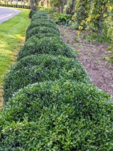 And here's a closer look at the newly groomed boxwood. I am so pleased with how it's developing - so lush and green.