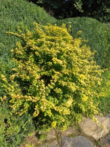 This is the striking golden barberry, Berberis thunbergii - a deciduous shrub that is compact, adaptable, very hardy and shows off golden-yellow foliage year-round. The barberry grows very well here and also needs trimming.