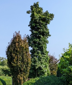 On the left is a purple columnar beech tree, Fagus sylvatica 'Dawyck Purple' - the same variety as those surrounding my pool. On the right is a Slender Silhouette Sweetgum Tree, or a columnar sweetgum. Similar to other Sweetgum varieties, the Slender Silhouette reaches a towering mature height of nearly 60 feet, but only gets about six feet wide.