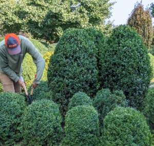 Brian tackles the boxwood on another side of the terrace. This chore is time-consuming and takes most of the day to complete.
