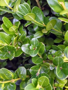 Buxus is a genus of about 70 species in the family Buxaceae. Common names include box or boxwood. The boxes are native to western and southern Europe, southwest, southern and eastern Asia, Africa, Madagascar, northernmost South America, Central America, Mexico, and the Caribbean. The leaves on boxwood branches are arranged opposite from each other, making pairs. This is 'Winter Gem' - one of the hardiest of the small-leaved boxwoods. The rich green foliage can acquire a golden bronze hue in cold winter zones, but is one of the first to become green again in spring.