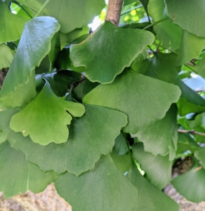 The leaves are unusually fan-shaped, up to three-inches long, with a petiole that is also up to three-inches long. This shape and the elongated petiole cause the foliage to flutter in the slightest breeze. Ginkgo leaves grow and deepen color in summer, then turn a brilliant yellow in autumn.