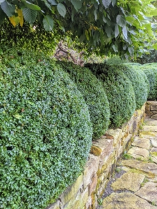 By the afternoon, the entire space looks markedly different. Here is a row of mature boxwood after trimming – they look so much better.