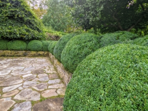 One of the most important reasons to prune is to shape up boxwood and provide a cleaner more defined appearance. These boxwood shrubs look great.