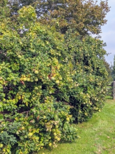 Just outside the old corn crib are quince trees - three of the many I have here at the farm.