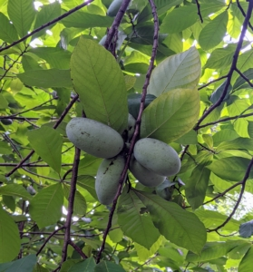 These are the developing pawpaws - greenish-blackish fruit, usually three to six inches long.
