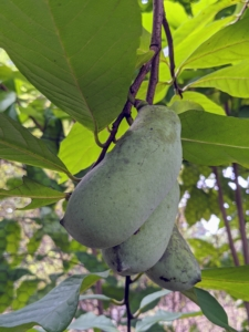 The taste of a pawpaw is a mix of mango-banana-citrus all in one. It's a big favorite for some here at the farm.