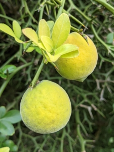 """Near the pawpaw trees are two trifoliate orange trees, Citrus trifoliata or Poncirus trifoliata - a member of the family Rutaceae. Also known as the """"hardy orange"""" or """"flying dragon,""""it is the most cold hardy of all citrus. It is a large, deciduous shrub that produces an unusually sour, downy fruit considered to be nearly inedible when raw but medicinally beneficial and delicious when cooked. The fruit is commonly juiced, made into marmalades, jams, jellies, or candied. Trifoliate oranges are slightly smaller than conventional oranges and taste like a blend of lemon and grapefruit. But watch out when picking - the thorns are long, thick, and very sharp."""