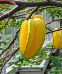"""Star fruit, also known as carambola, is the fruit of the Averrhoa carambola tree. Ripe star fruit is fleshy, crunchy, and juicy and has a sweet and slightly tart taste. When sliced horizontally, the fruit resembles a star, which is why it is named """"star fruit"""". This tree is planted in my vegetable greenhouse and doing so excellently."""
