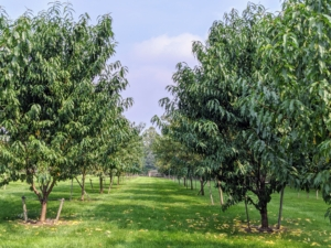 This orchard surrounds three sides of my pool. I wanted it filled with a variety of apple trees, plum trees, cherry trees, peach, pear, and quince trees. Many were bare-root cuttings when they arrived and now they're beautiful mature specimens.