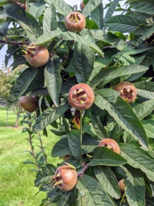 These are the fruits of the medlar, Mespilus germanica – a small deciduous tree and member of the rose family. These fruits are not ready yet - we'll pick them in late October or early November.