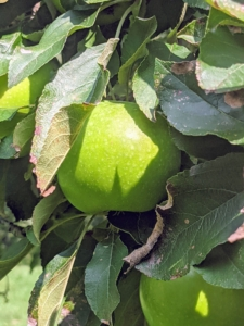 And of course, I have a large section of apples. I already grow hundreds of apple trees here at the farm – some that were here when I acquired the property and others I planted soon after moving here. These newer apple trees include 'Baldwin', 'Black Oxford', 'Cortland', 'Cox's Orange Pippin', 'Esopus Spitzenburg', 'Fuji', 'Golden Russet', 'Grimes Golden', 'Honeycrisp', 'Liberty', 'Redfield', 'Roxbury Russet', and 'Windham Russet'.