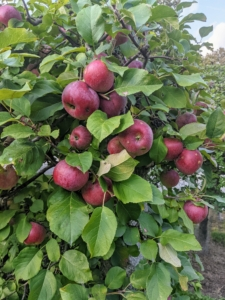 And look at all the apples in the dwarf espalier behind my long carport - so many apples. I will be making lots of fresh apple cider this year.