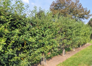 More apples hang from the branches of the Malus 'Gravenstein' espalier apple trees. I love this crisp and juicy apple, an antique variety, which is wonderful to eat and great for cooking and baking.