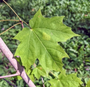 And of course, maples. The maple tree, Acer, has recognizable leaves with pointed lobes and with deep indentations between the lobes. The leaves are a bold green color.