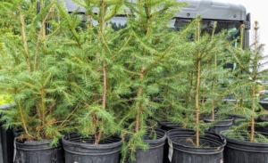 We planted evergreens such as these spruce trees, Picea glauca, a species of spruce native to the northern temperate and boreal forests in North America.