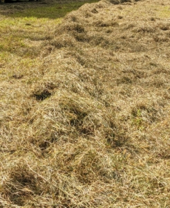 And here is the top of the first windrow ready for the last stage – baling.