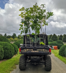 The bur oak, Quercus macrocarpa, commonly spelled burr oak, is a species of oak tree native to eastern North America. It is also called mossycup oak, mossycup white oak, blue oak, or scrub oak. Here's Ryan driving a load of bur oaks in our new 2021 Polaris Ranger Crew XP 1000 NorthStar Edition. I love these Polaris vehicles - they are perfect for riding around the farm, loading and unloading equipment, plants and trees, and for getting into tight spaces where larger vehicles cannot go. These are also perfect off-road - durable yet light enough so they don't damage any grass. These are so vital here at the farm - we use them every day.