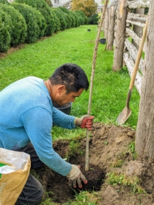 Each specimen is planted to the same height as it was in the pot. Pasang places the tree into the hole making sure it is at the right depth. He also looks at the tree's foliage and turns the tree so its main branches point sideways so they are not in the way of passing Polaris vehicles or horses.