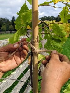 Chhiring ties the twine in three places – this will ensure the tree is well supported and directed as it grows.