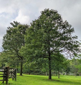 At the other end of the paddocks in a grassy area not far from my grove of Metasequoia is a stand of older, more mature bur oaks. Look at the wide, open crown. These trees are so stately. When fully mature, with their massive trunks, support heavy, horizontal limbs.