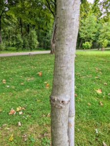 Sweetgum trees have light gray bark with vertical, irregular ridges covering a tall, straight trunk.