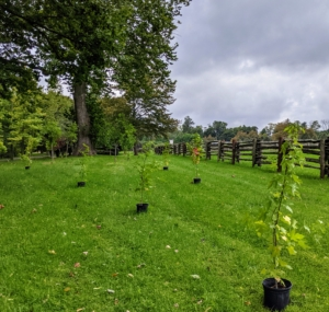 Here, Ryan has already placed a good number of sweetgums for planting. When mature, these trees will grow to about 60 to 70 feet tall with up to a 45 foot spread, so they must have ample room between them. Always consider the size of a mature specimen when planting.