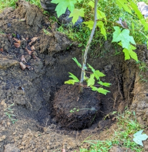 Then Pasang follows behind to plant each tree. He places it into the hole to ensure it can be planted at the proper depth - planting a tree too deep causes bark deterioration at the soil line, which can eventually kill the tree. Pasang also positions the tree so the best side faces the carriage road.