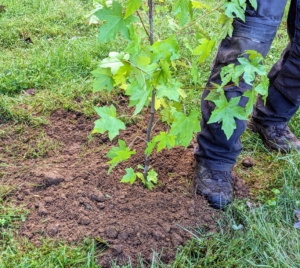 And lightly tamps down with his foot to pack the soil around the plant roots. This ensures good soil to root contact and eliminates air pockets that could otherwise result in dead roots.