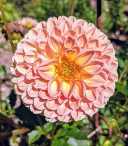 Dahlias were first recorded by Westerners in 1615, and were then called by their original Mexican name, acoctli. The first garden dahlias reached the United States in the early 1830s. Today, dahlias are grown all over the world.
