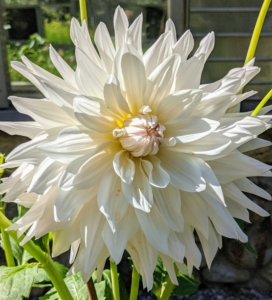 It can also vary in height, leaf color, form, and shape. This is because dahlias are octoploids, meaning they have eight sets of homologous chromosomes, whereas most plants have only two.