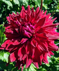"""This dahlia is called 'Zorro'. The ruffled petals accentuate its deep red color. """"Zorro' blooms can reach eight to 10 inches wide on stems that can grow up to four feet tall."""