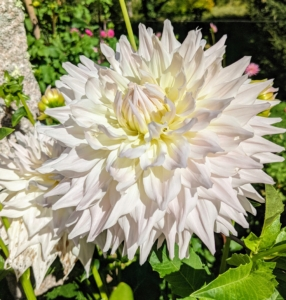 Dahlias produce an abundance of wonderful flowers throughout early summer and again in late summer until the first frost. This large bloom is a beautiful white with a hint of creamy yellow in the center.