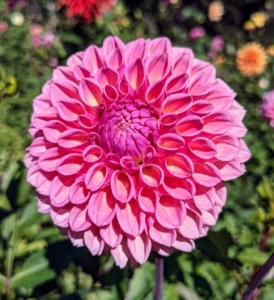 Josephine Bonaparte, wife of the French Emperor, was so enamored of dahlias she grew prize varieties in her garden at Malmaison.