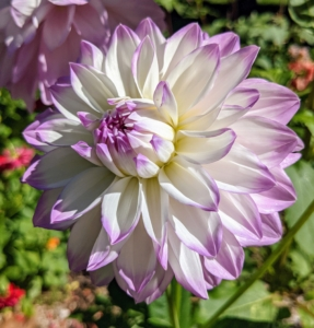 Dahlias come in white, shades of pink, red, yellow, orange, shades of purple, and various combinations of these colors – every color but true blue. In the 19th century, a London newspaper offered a pound, or a little more than a dollar, to the first breeder to create a blue dahlia—the reward was never claimed, but there have been many attempts that are near-blue. Like many flower varieties, there is also no pure black variety—only dark red and dark purple. This one is white with soft lavender tips.
