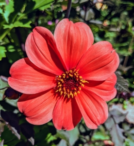 The genus Dahlia is native to the high plains of Mexico. Some species can be found in Guatemala, Honduras, Nicaragua, El Salvador, and Costa Rica as well as parts of South America where it was introduced.