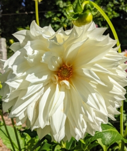 This one is creamy white with a yellow center. There are some 57,000 varieties of dahlia, with many new ones created each year.
