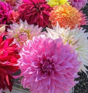 I have already cut many dahlia flowers to decorate my home, but there are still so many to enjoy.