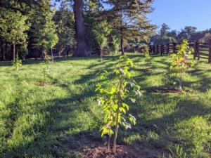 And in fall, these trees provide brilliant fall color, with leaves turning vibrant shades of yellow, orange, red, and purple. These newly planted sweetgums will look wonderful in the landscape. I am so fortunate to have the room to plant lots of beautiful and interesting trees.