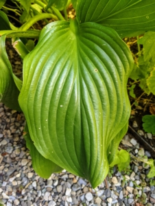 The hostas are so lush with their varying leaf shape, size, and textures. Hostas have easy care requirements which make them ideal for many areas. I have them all around the farm. Hosta is a genus of plants commonly known as hostas, plantain lilies and occasionally by the Japanese name, giboshi. They are native to northeast Asia and include hundreds of different cultivars.