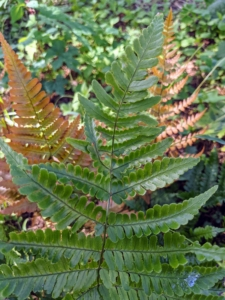 And this is the ostrich fern – a light green clump-forming, upright to arching, rhizomatous, deciduous fern which typically grows up to six feet tall.