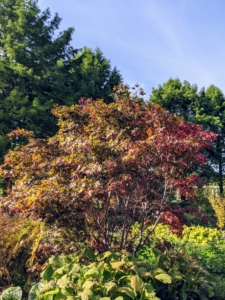 """Here is one of the two large Japanese maples we planted in 2019. With more than a thousand varieties and cultivars, the iconic Japanese maple tree is among the most versatile small trees for use in the landscape. They look so pretty with all the green foliage surrounding them. Japanese maples are native to areas of Japan, Korea, China, and Russia. In Japan, the maple is called the """"autumn welcoming tree"""" and is planted in the western portion of gardens – the direction from which fall arrives there."""
