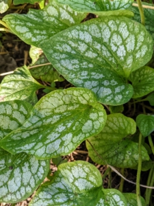 Brunnera is one of the prettiest plants to include in any shady garden. Brunnera is an herbaceous perennial with leaves that are glossy green or in variegated hues of gray, silver, or white.