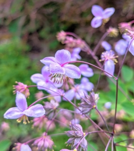 When blooming, it produces foam-like sprays that resemble Baby's Breath in shades of lilac and purple.