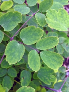 """These are the dainty leaves of thalictrum. Plants in this genus are native to stream banks, shaded mountains, and moist meadows. It grows best in moist, humus-rich soil in partial shade. Thalictrum has some of the most beautifully textured foliage. The name Thalictrum means """"to flourish,"""" and it does, with elegant, finely cut and rounded compound leaves."""