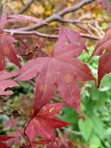 Red-leafed cultivars are the most popular of the Japanese maples. Japanese maple leaves range from about an inch-and-a-half to four-inches long and wide with five, seven, or nine acutely pointed lobes.