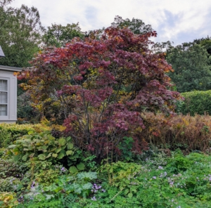 And here is the other - both are doing excellently. Japanese maples grow well in moist, organically rich, well-drained soil. Their forms can be weeping, rounded, dwarf, mounding, upright, or cascading. Japanese maples typically grow about one-foot per year for the first 50-years, but they can live to be more than a hundred years old.