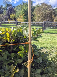 To ensure the pruning is perfectly straight, we always use a landscaping twine, so it is visible and can be pulled taut. The twine is pulled between bamboo poles and placed along the sections of the hedge. A hanging level, available at hardware stores, can be placed on the twine as a guide.