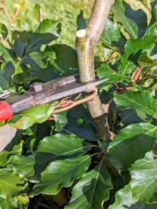 Other branches are also trimmed with pruners. Ryan trims those branches that are rubbing or crisscrossing each other or preventing any healthy new growth. Basically, the goal is to create a tree with well spaced lateral branches. Any branches which interfere with the tree's shape or create a dense framework should be removed.